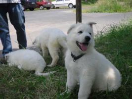Foto 4 Reinrassige wei�e Sch�ferhund Welpen