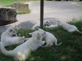 Foto 5 Reinrassige wei�e Sch�ferhund Welpen