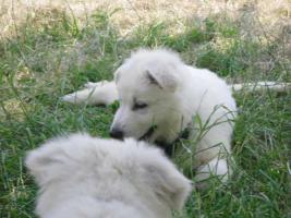 Foto 6 Reinrassige wei�e Sch�ferhund Welpen