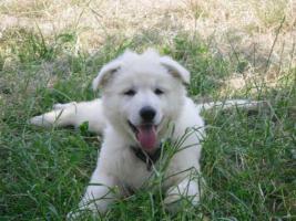 Reinrassige weiße Schäferhund Welpen