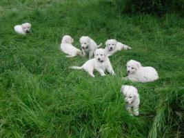 Foto 5 Reinrassige weiße Schäferhund Welpen