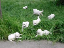 Foto 6 Reinrassige weiße Schäferhund Welpen