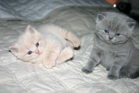Foto 2 Reinrassige  BKH Babys