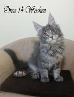 Foto 3 Reinrassige, sehr verschmuste Maine Coon Kitten