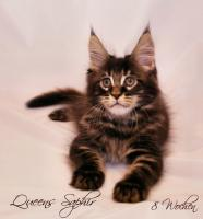 Reinrassige, sehr verschmuste Maine Coon Kitten