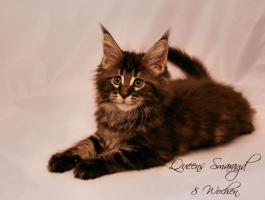 Foto 4 Reinrassige, sehr verschmuste Maine Coon Kitten