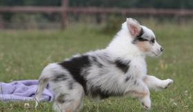 Reinrassigen Australien Shepherd Welpen