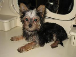 Foto 2 Reinrassiger MINI Biever Yorkshire Terrier baby zu verkaufen !