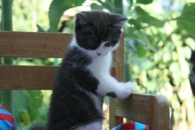 Foto 2 Reinrassiges Britisch Kurzhaar Baby mit Stammbaum