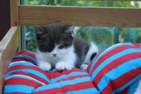 Foto 4 Reinrassiges Britisch Kurzhaar Baby mit Stammbaum