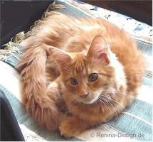 Foto 2 Reinrassiges Maine Coon Katerchen.