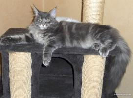 Reinrassiges Maine Coon Katerchen ''Jungtier''