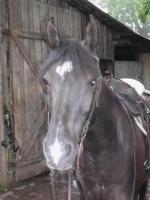 Foto 2 Reitbeteiligung auf Araberpferden