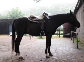 Foto 3 Reitbeteiligung auf Araberpferden