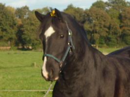 Reitbeteiligung für Ponny und Pferd