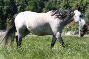 Reitbeteiligung an Quarterhorse stute zu vergeben