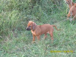 Foto 8 Rhodesian Ridgeback