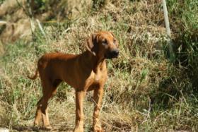 Foto 3 Rhodesian Ridgeback Welpe