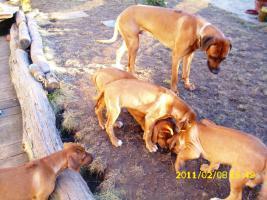 Foto 3 Rhodesian Ridgeback Welpen