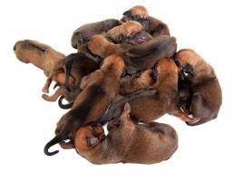 Rhodesian Ridgeback Welpen Rassenhund Löwenhund Hund Championverpaarung mit Papiere