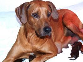 Foto 2 Rhodesian Ridgeback Welpen Rassenhund Löwenhund Hund Championverpaarung mit Papiere