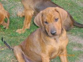 rhodesian ridgeback welpen abzugeben. Black Bedroom Furniture Sets. Home Design Ideas