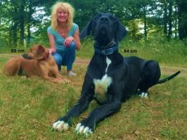 Foto 2 RiDo = Rhodesian Ridgeback + Deutsche Dogge
