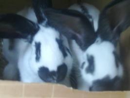 Foto 3 Riesen mix Jungtiere