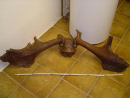 Riesenhirsch Geweih, Irish Elk, Megaloceros Giganteus, Pleistozän, Fossilien, Eiszeittiere,