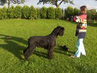 Foto 2 Riesenschnauzer Welpen schwarz mit Pap.