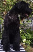 Foto 2 Riesenschnauzer Welpen in schwarz VDH-PSK-FCI Mutter:USA-IMPORT