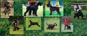 Foto 5 Riesenschnauzer schwarz