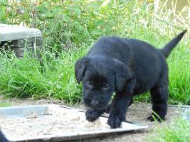 Foto 2 Riesenschnauzer-welpen mit PSK/VDH Pap. von HD freien Elterntiere