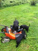 Foto 4 Riesenschnauzer-welpen mit PSK/VDH Pap. von HD freien Elterntiere