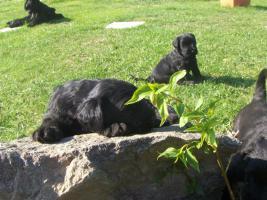 Foto 2 Riesenschnauzerwelpen schwarz mit Pap.