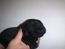 Foto 3 Riesenschnauzerwelpen schwarz mit Pap.