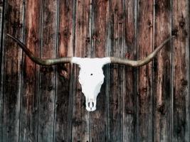 Rinderschädel mit Horn, original
