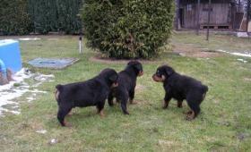 Foto 2 Robuste und Characterstarke Rottweilerwelpen abzugeben