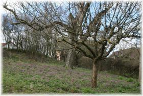 Im Frühling blüht der Lerchensporn
