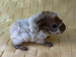 Rosetten-Meerschweinchen-Babies in schimmel abzugeben!