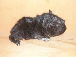 Foto 5 Rosetten, Glatthaar und Crested Meerschweinchen