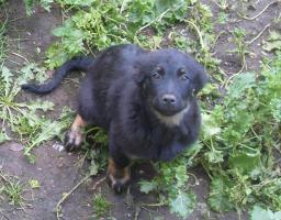 Foto 2 Rotti-Sch�ferhund-Welpen