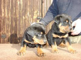 Foto 4 Rotti-Welpen suchen neue Familie