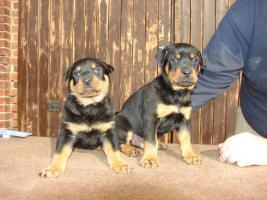 Foto 5 Rotti-Welpen suchen neue Familie