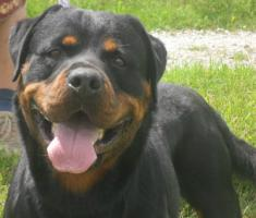 Foto 2 Rottweiler-Deckrüde