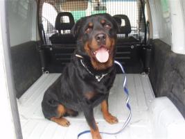 Rottweiler Duque aus dem Tierschutz sucht ein tolles zu Hause!