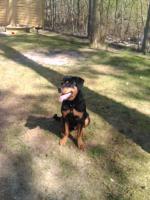 Foto 2 Rottweiler Rüde 6 Monate