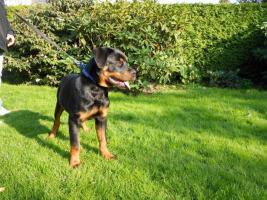 Foto 2 Rottweiler R�de mit ADRK Papieren