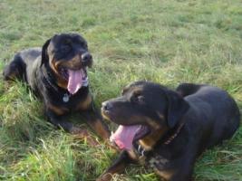 Foto 5 Rottweiler Welpen