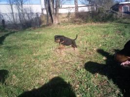 Foto 2 Rottweiler Welpen